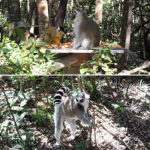 Monkeyland monkeys and lemur