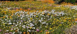 Postberg West Coast National Park Wild Flowers