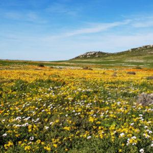 Postberg West Coast Spring Flowers