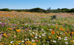 Spring Flowers West Coast National Park Postberg