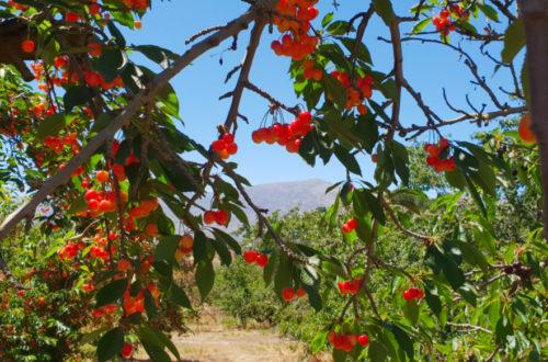 Klondyke Cherry Farm Ceres
