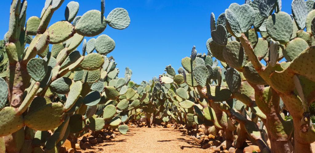 Prickly Pear Maze Babylonstoren