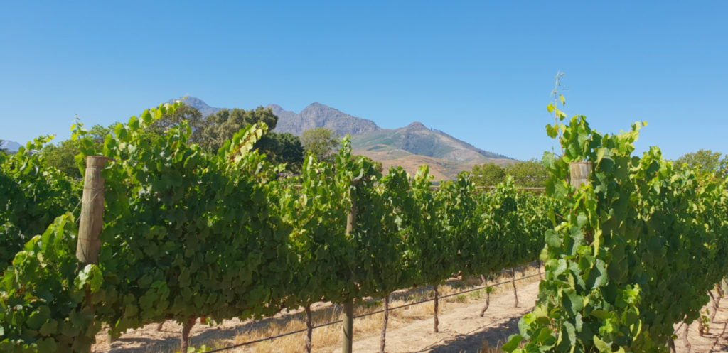 Vineyards At Babylonstoren