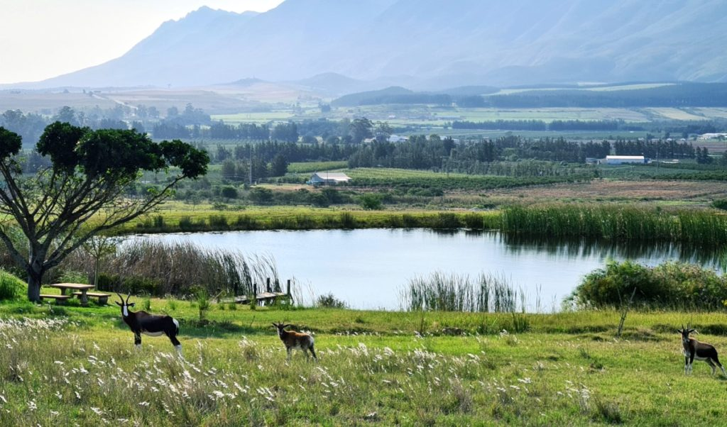 Bontebok at Kwetu Guest Farm in Swellendam