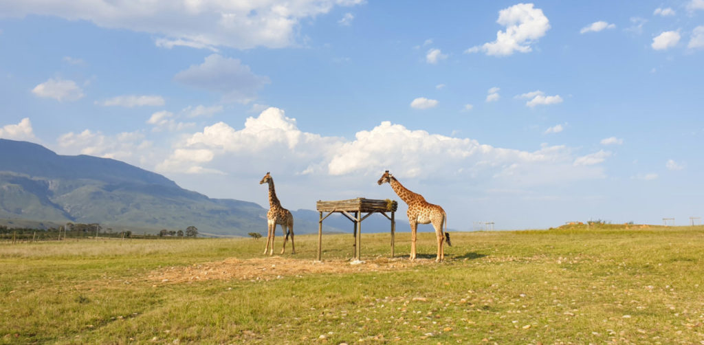 Sophie and melvin the giraffes at Kwetu Guest farm in Swellendam