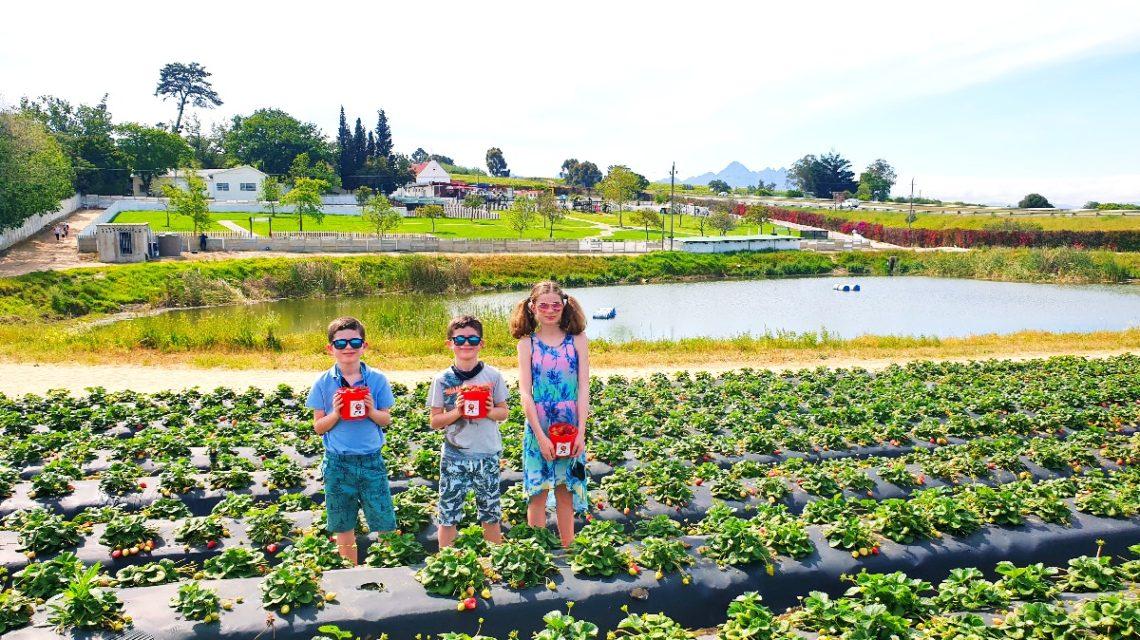 The One Stop Wanderlust kids picking strawberries at Polkadraai in Stellenbosch