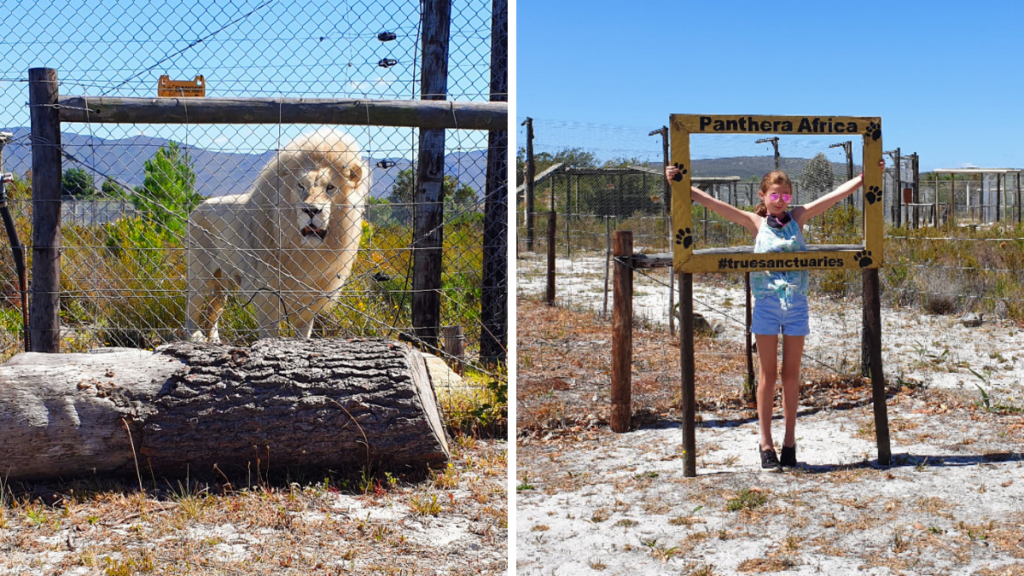 Neptune the lion with his magnificent mane at Panthera Big Cat Sanctuary and girl posing in Panthera selfie frame.