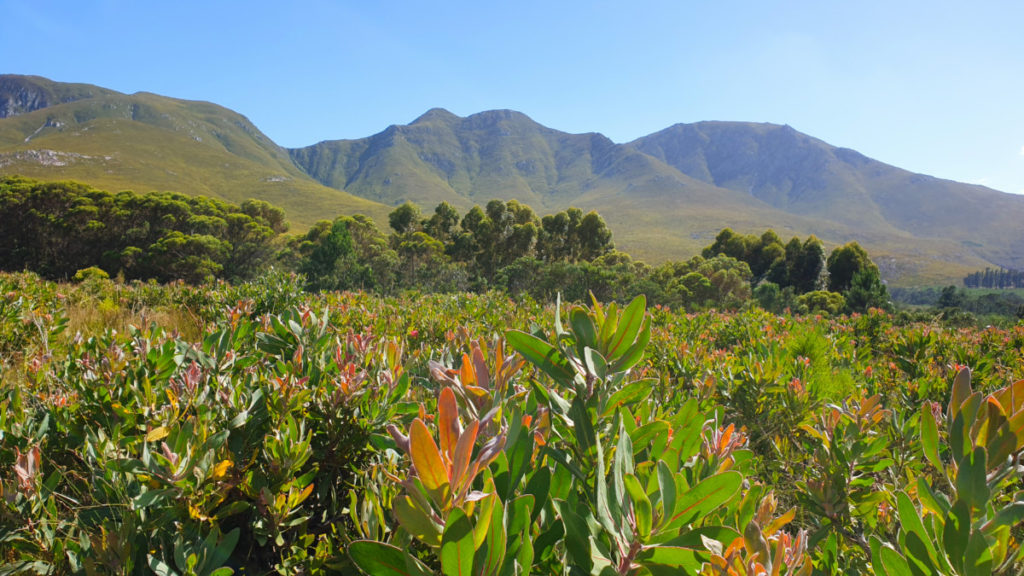View of protea fields and Klein Mountains at Stanford Hills Estate