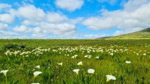 Field of arum lilies at Duckitt Farm Darling