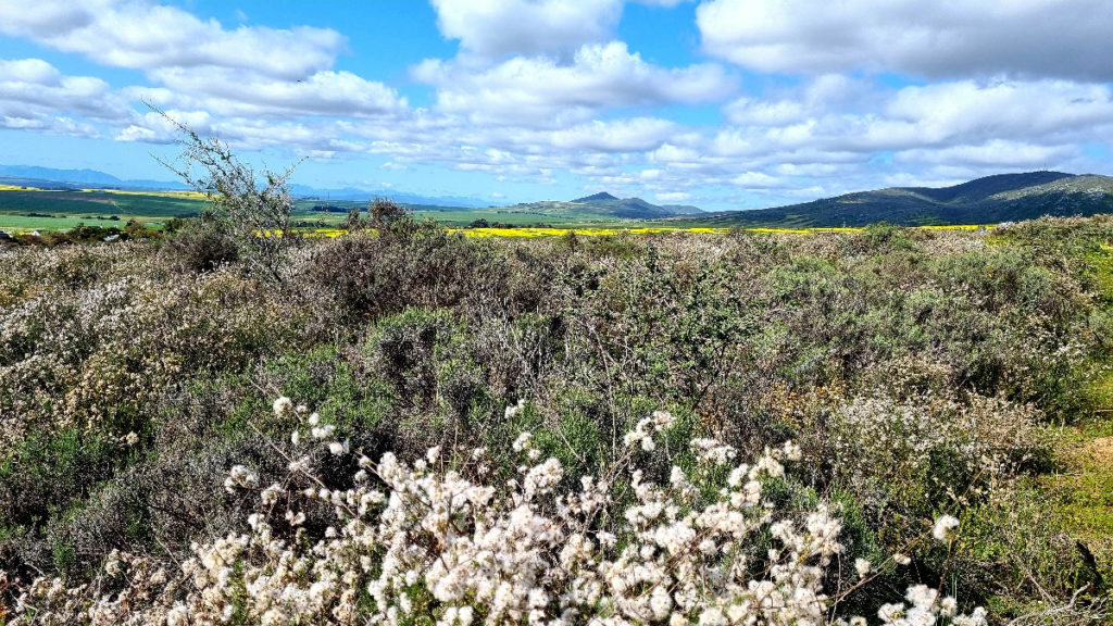 Beautiful sweeping view of fluffy clouds, Renosterveld and canola fields in Darling taken in Renosterveld Reserve