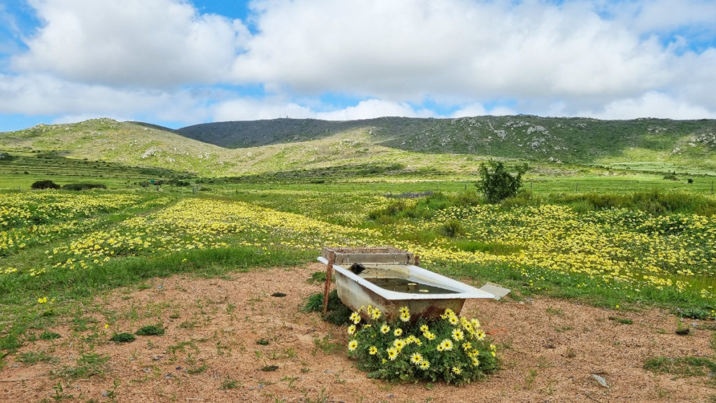 An old bathtub set randomly against a countryside backdrop of Darling's wildflowers